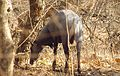 Male Nilgai in Dry Decidious Gir Forest.jpg