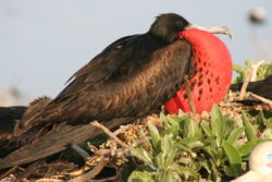 Male great frigatebird.JPG