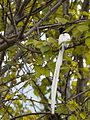 Male white morph Asian Paradise Flycatcher-2 (26986814651).jpg