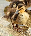Mallard Ducklings 3 (12823433593).jpg