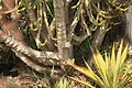 Malta - Floriana - Triq Vincenzo Bugeja - Argotti Botanic Gardens - Euphorbia triangularis 02 ies.jpg