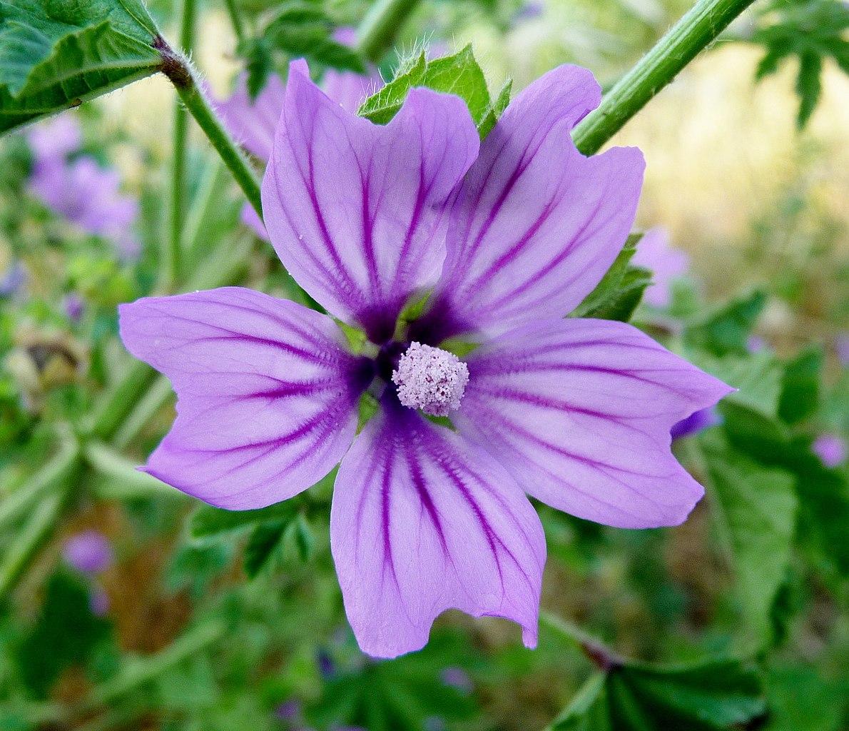 File:Malva sylvestris, flower 1.JPG - Wikimedia Commons