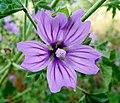 Malva sylvestris, flower 1.JPG