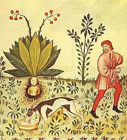 Mandrake (plant) - Wikipedia, the free encyclopedia