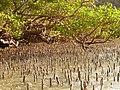 Mangrove - panoramio.jpg