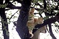 Manyara lion JF.jpg