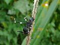 Maraudeur Ant (Polyrhachis armata) infected by Cordyceps - Niah Caves NP, Sarawak, Malaysia.jpg