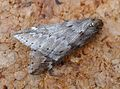 March Moth. Alsophila aescularia - Flickr - gailhampshire.jpg