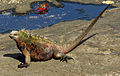 Marine Iguana (A. c. mertensi), Santiago Island, Ecuador.jpg
