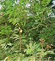 Markhamia stipulata3208.jpg
