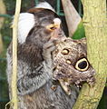Marmoset feasting on Owl Butterfly (Caligo memnon) (5742548042).jpg