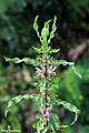 Marsh Barbel - Hygrophila auriculata (വയല്ച്ചുള്ളി) (23920687298).jpg