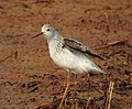 Marsh sandpiper 4(Tringa stagnatilis).jpg