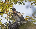 Martial Eagle (Polemaetus bellicosus) - Flickr - Lip Kee (5).jpg
