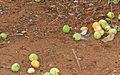 Marula (Sclerocarya birrea) fruits on the ground (15890222423).jpg