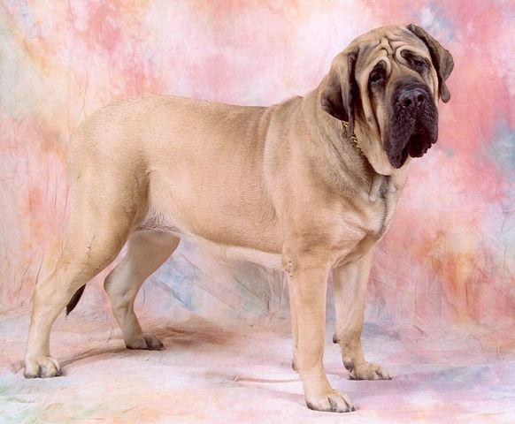 Världens största hund - Mastif