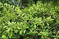 Maytenus canariensis kz2.jpg