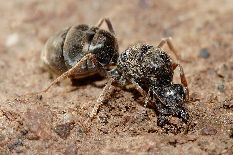 Meat eater ant qeen excavating hole