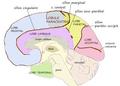 Medial paracentral lob.png