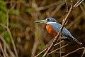 Megaceryle torquata-Ringed Kingfisher.jpg