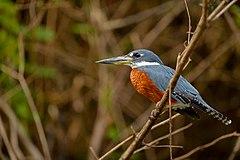 240px megaceryle torquata ringed kingfisher