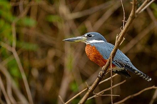 500px megaceryle torquata ringed kingfisher