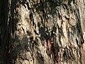 Melaleuca leucadendron (2207120596).jpg