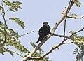 Melaniparus carpi, Kunene River Lodge, Birding Weto, a.jpg