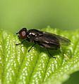 Melanogaster hirtella (female).jpg