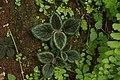 Melastomataceae sp 1476.jpg