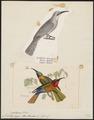 Melittophagus bullocki - - Print - Iconographia Zoologica - Special Collections University of Amsterdam - UBA01 IZ16800353.tif