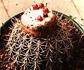 Melocactus 2.jpg