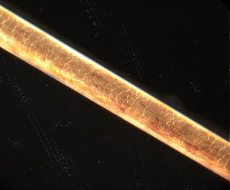 Ear hair - Strand of human hair at 200× magnification