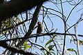 Merops ornatus (24501529272).jpg