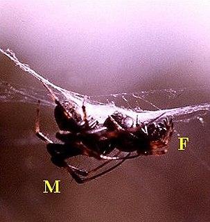 <i>Metepeira incrassata</i> Spider