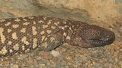 Mexican Beaded Lizard 1.jpg