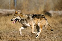 Photograph of a wolf running on a grassy plain with enclosing fence in background