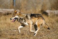 Mexican Wolf 2 yfb-edit 1.jpg