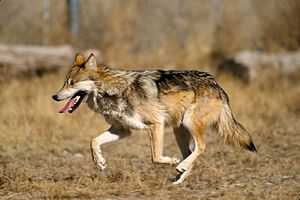 Mexican Wolf, the most endangered subspecies of the North American Grey Wolf. Approximately 143 are living wild. Mexican Wolf 2 yfb-edit 1.jpg