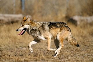 Mexican wolf the smallest living subspecies of grey wolf in North America