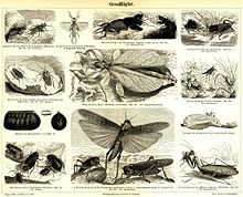 Orthoptera Wiktionary