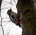 Middle spotted woodpecker (22866600224).jpg