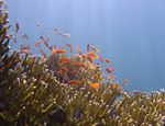 Millepora and Anthias.jpg