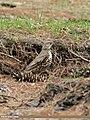 Mistle Thrush (Turdus viscivorus) (49112139471).jpg