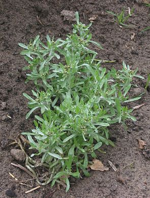 Sumpf-Ruhrkraut (Gnaphalium uliginosum).