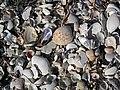 Mollusc shells on marine beach (Cayo Costa Island, Florida, USA) 2 (24245123631).jpg