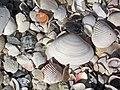Mollusc shells on marine beach (Cayo Costa Island, Florida, USA) 7 (23699400444).jpg