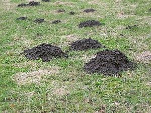 Molehill - Several lines of molehills in the pasture.