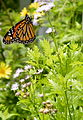 Monarch Butterfly - United States Botanic Gardens, Washington, D.C.- Stierch.jpg