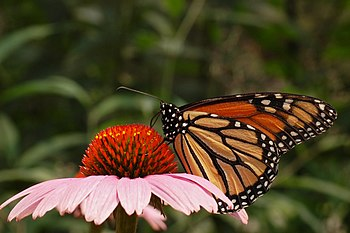 Monarch Butterfly Danaus plexippus Purple Cone...